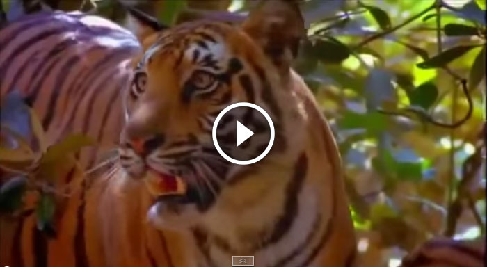 Man Eating Tigers of The Sundarbans (BBC Documentary)