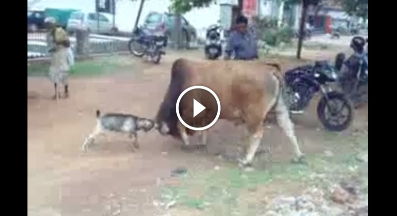 Funny video goat vs bull fight - guess who wins
