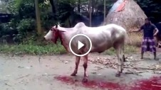 qurbani Cow stands up starts walking after improper slaughtering