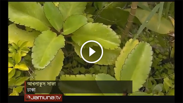electricity from goethe plant miracle leaf pathorkuchi