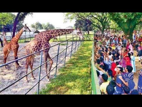 Dhaka Zoo – Beautiful  African Giraffe: at Mirpur Chiriakhana / Beauties of Bangladesh National Zoo